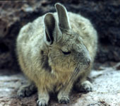 Animal Bizarre : un Viscacha